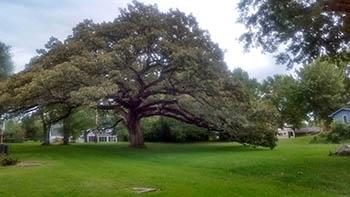 Searles Burr Oak